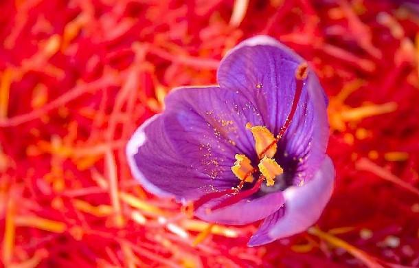 Stami dello zafferano e fiore