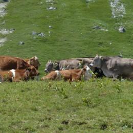 cows-175314_1920