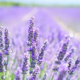 lavender-blossom-1595581_1920