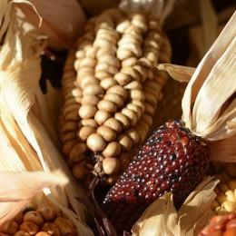 ornamental-corn-1651971_1920