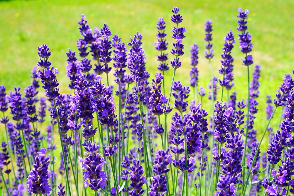 lavender-2117432_960_720